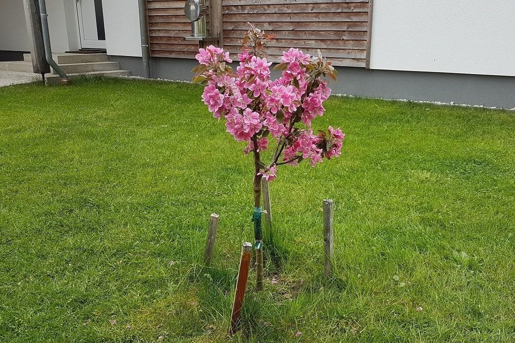 Zwergapfelbaum vor unserem Haus